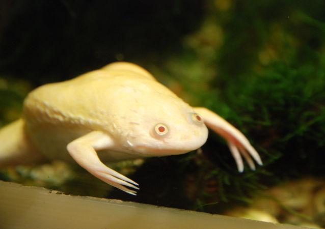 Una rana africana de uñas