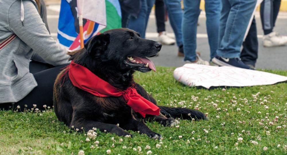 Perro presente en las manifestaciones de protesta en Chile