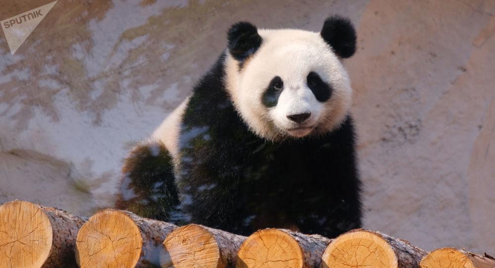 Ding Ding, el oso panda que vive en el zoológico de Moscú