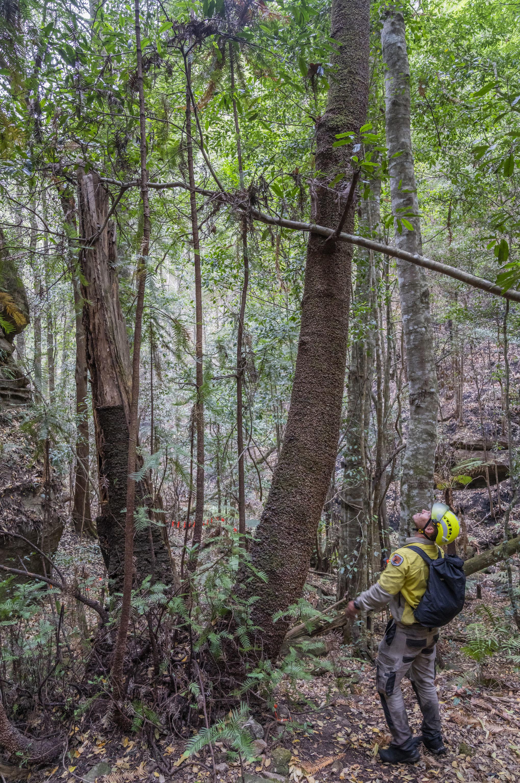 Existen unos 200 pinos de Wollemi en Australia