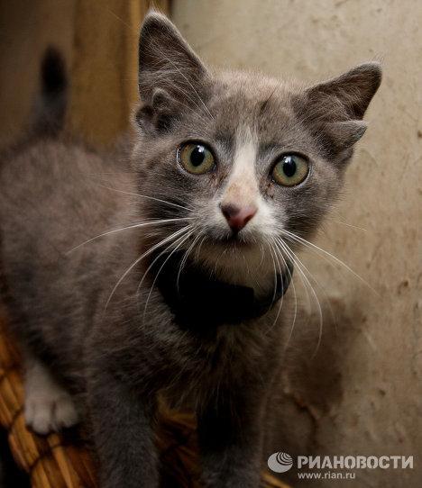 Лунтик: котенок с четырьмя ушами живет во Владивостоке