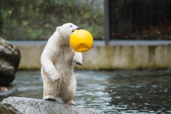 Белый медведь в зоопарке Мюнхена