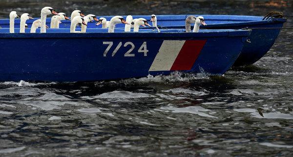 Лебеди на пути в место зимовки. Озеро Альстер, Германия