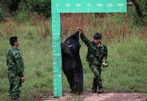 Сотрудники парка измеряют рост Барибала. Город Пуэр, Китай