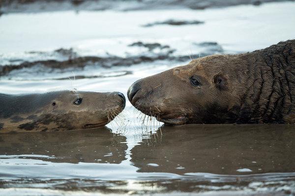 Серые тюлени на пляже заповедника Линкольншир на востоке Англии, ноябрь 2014